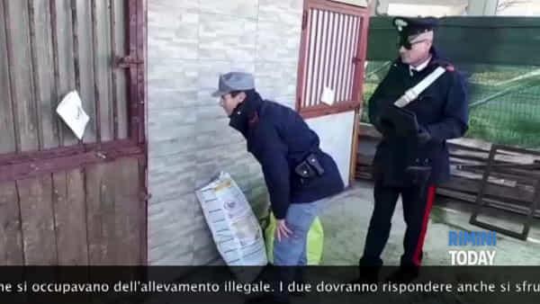 Sequestrato allevamento clandestino di pitbull | IL VIDEO